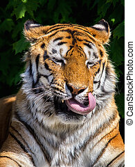 Funny tiger's face with its tongue out