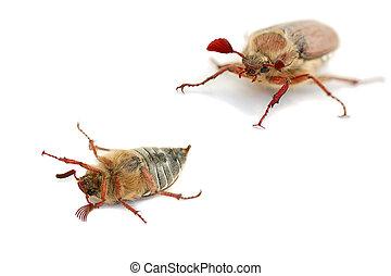 may-bug on white background macro shot