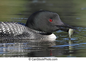 Common Loon with a Small Sunfish - Closeup of a Common Loon...