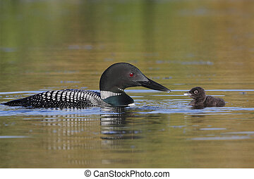 Common Loon Baby and Parent - Common Loon (Gavia immer) Baby...
