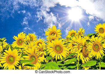 Field of sunflowers under bright sun