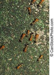 Ant Lasius niger resquing larva