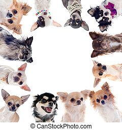 group of chihuahuas - group of chihuahua in front of white...