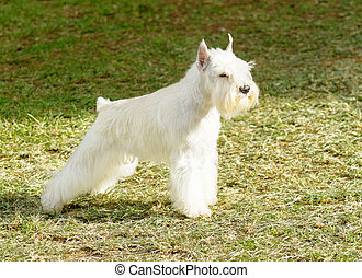Miniature Schnauzer - A side view of a small white salt...