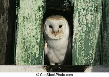 Barn owl, Tyto alba, single bird in barn, Warwickshire,
