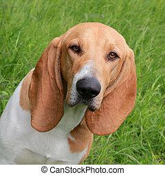 Detail of Swiss Hound - Typical Swiss Hound dog