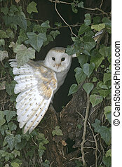 Barn owl, Tyto alba, single bird in ivy on tree,...