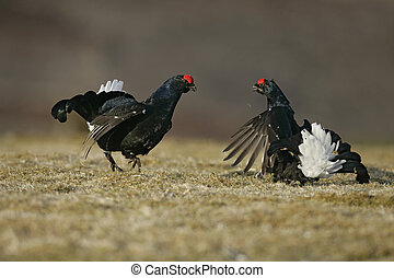 Black grouse, Tetrao tetrix, two bird fighting at lek,...