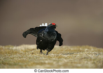 Black grouse, Tetrao tetrix, single male at lek, Scotland