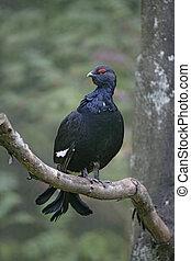 Black grouse, Tetrao tetrix, single male in tree in winter,...