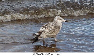 sea seagull goes on waves - seagull in water among waves