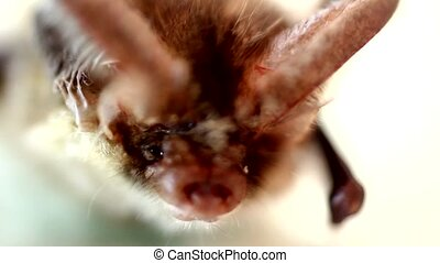 long-eared bat - bat close up on a white background
