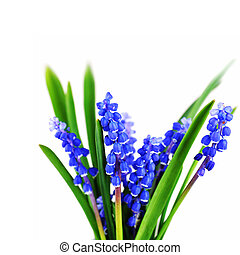 blue hyacinths blooming in spring