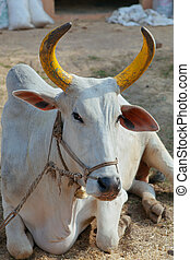Indian cow - The sacred bull with lacquered horns in...