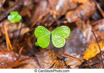 Clover missing one leaf - Clover or trefoil in autumn,...