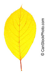 Bright yellow autumn leaf isolated on white