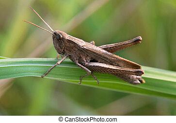 grasshopper on green leaf - a grasshopper on green leaf