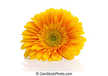 Gerbera - Gerbera flower isolated on the white background