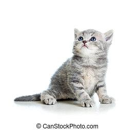 cat kitten isolated on white