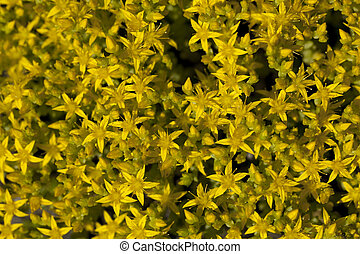 Sedum acre - yellow little flower Sedum acre as background