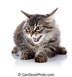 Angry hissing cat.