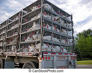 live turkeys transported by truck - Turkeys in cages on a...