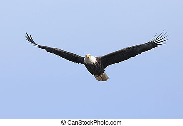 Adult Bald Eagle haliaeetus leucocephalus in flight against...