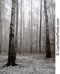 Birch wood under snow - Birch wood in winter under snow