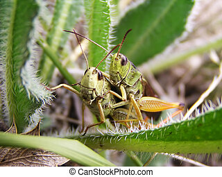 Two grasshoppers in the grass