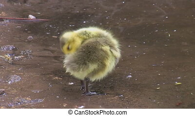 Funny clumsy little gosling - Little chick gosling standing...