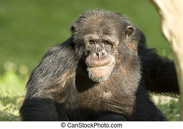 Chimpanzee - Hightly intelligent and sociable monkey named...