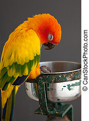Sleeping sun conure