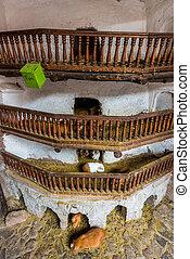 Guinea pigs Pisac peruvian Andes Cuzco Peru - Guinea pigs at...
