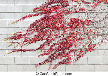 Red ivy creeper leaves on a white building wall