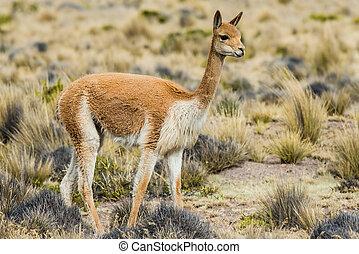 Vicuna in the peruvian Andes Arequipa Peru - Vicuna in the...
