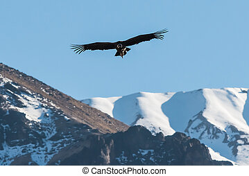 Andean condor flying in the Colca Canyon Arequipa Peru -...