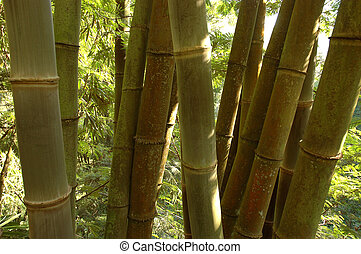 Bamboo Trees - Bamboo trees that growth well in tropical...