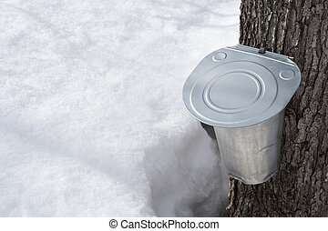 Collecting maple sap in spring