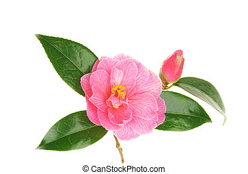 Camellia flower and bud - Pink camellia flower and bud...