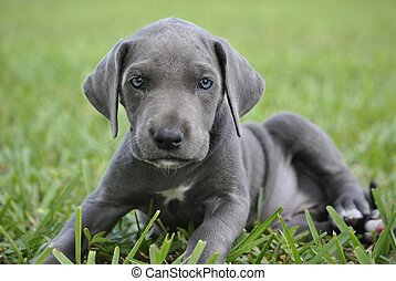 Baby Blue Great Dane - 8 week old Blue Great Dane Puppy