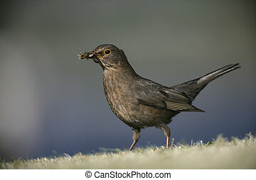 Blackbird, Turdus merula, single female on grass collecting...