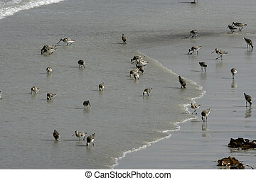Black-tailed godwit, Limosa limosa, group of birds on beach,...