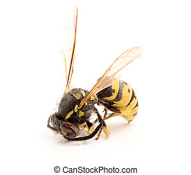 Dead wasp close-up.