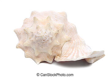 Sea shell Close up Isolated on a white background