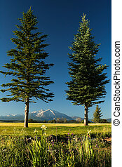 Framed Mount Sopris - Two vertical pines framed snow capped...