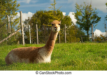 Vicuna - A vicuna is sitting on a grass in a zoo.