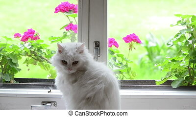 white cat on window sill - White fluffy cat pet sit on...