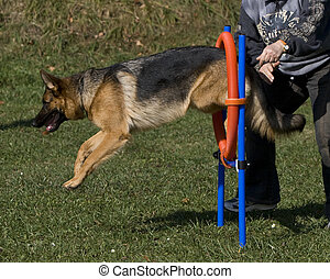 agility - german shepherd jump
