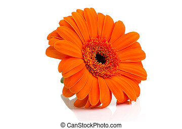 Gerbera. - Gerbera flower isolated on the white background.
