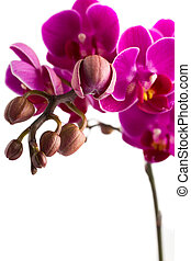 Orchid - Orchid isolated on the white background